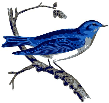 Amerika Mountain Bluebird