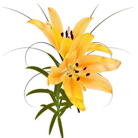 Yellow Lily with branch on white background.