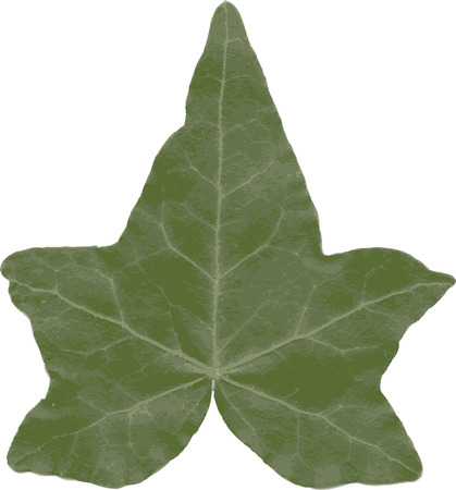 A ivy leaf isolated on white background. Vector.