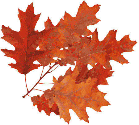 Red oak Autumn (Quercus Rubra). Vector. 向量圖像
