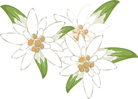 edelweiss Ilustrace