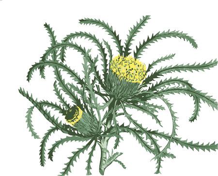 Dryandra soorten (bloem)  Stock Illustratie