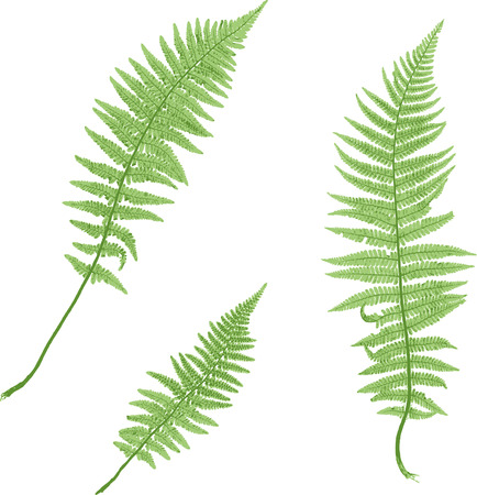 Fern isolated on white background. Ilustração