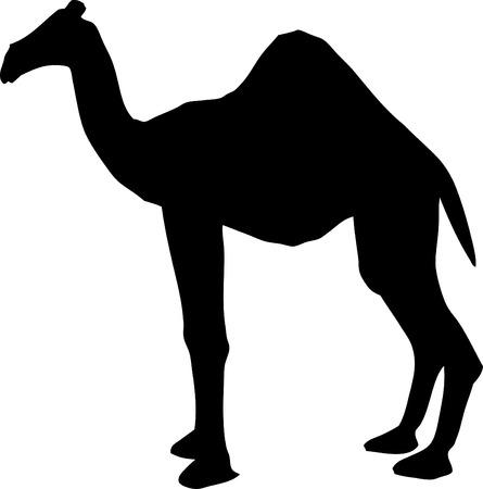 Een kameel op witte achtergrond.