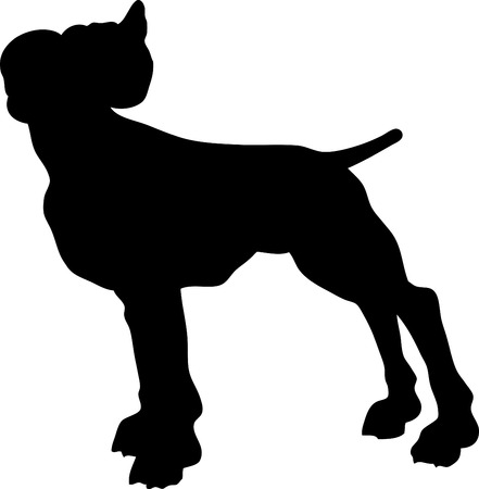 One pitbull isolated on white background.