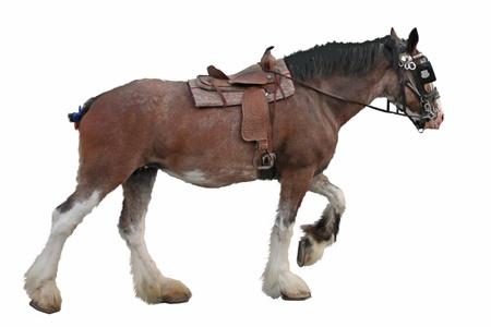 Clydesdale paard geïsoleerd op een witte achtergrond. Stockfoto - 10237381