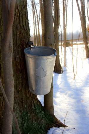 A maple tree has been tapped in spring to get sap for making maple syrup