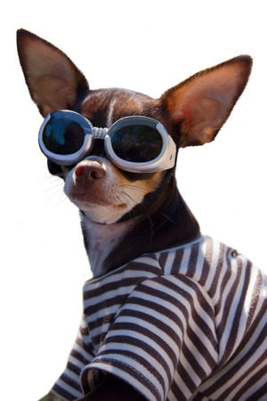 Funny Chihuahua with googles isolated in white background photo