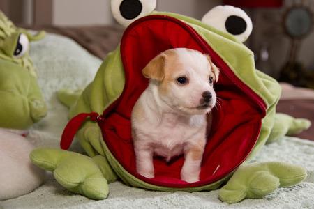 Puppy chiwawa 版權商用圖片