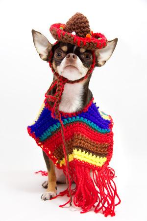 Mexican dog. 版權商用圖片
