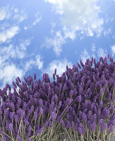Lavender in summer.