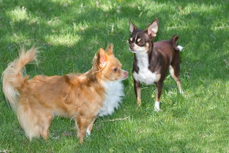 Two little chihuahuas. 版權商用圖片