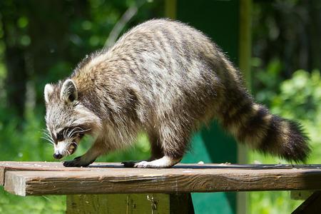Wild racoon.