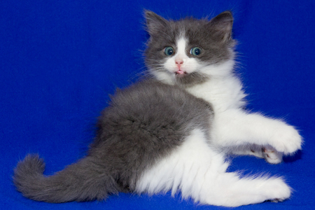 Kitty on Blue background.