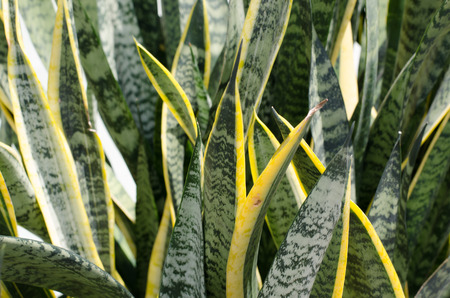 Green leaves of Sansevieria trifasciata or Mather