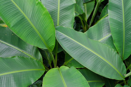 Green banana tree Stock Photo
