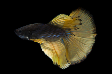 Luxury Betta fish, Siamese fighting fish or Betta splendens (yellow color) on black background Stock Photo