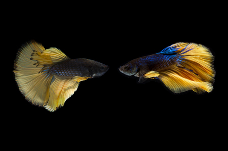 Betta fish, Siamese fighting fish or Betta splendens (Blue yellow color) on black background