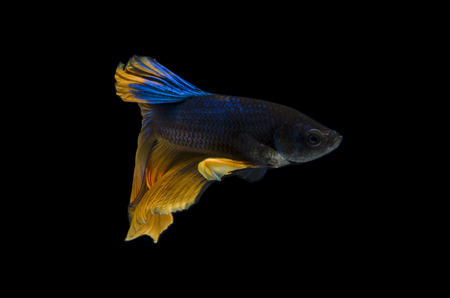 Beautiful Betta fish, Siamese fighting fish or Betta splendens (Blue yellow color) on black background