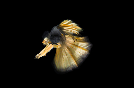 Betta fish, Siamese fighting fish or Betta splendens (yellow color) on black background Stock Photo