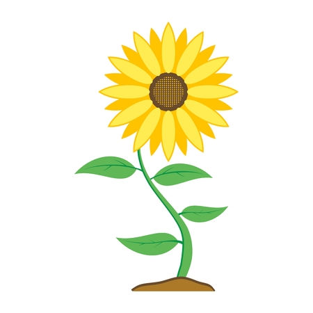 Sunflower with green leaves isolated on white background.
