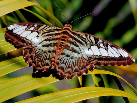 aucasian: The butterfly on the leaf, Thailand Stock Photo