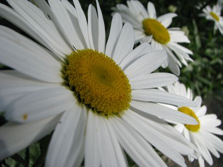 vulgare: daisy (Leucanthemum vulgare) Stock Photo