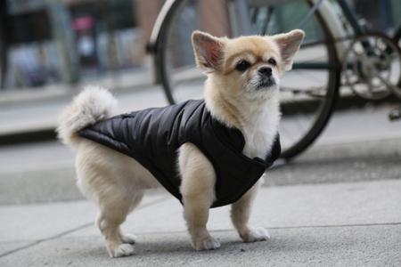 facial expression: Small dog serious facial expression
