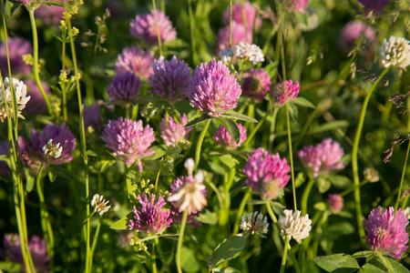 clovers: Wild clovers blossom closeup pink green meadow Stock Photo