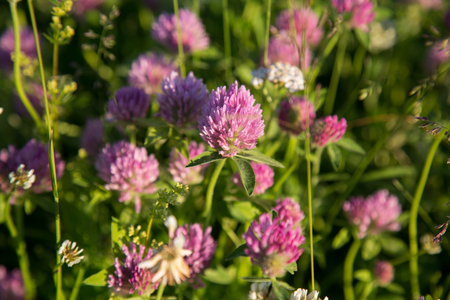 trifolium: Wild clovers blossom closeup pink green meadow Stock Photo