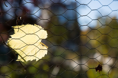 Yellow autumn leaf stuck chain link fencing copy space background