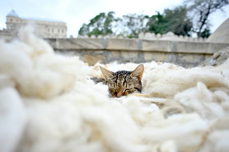 Cat sleeping in sheep's wool in the middle of the street