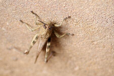 Gray Locust, harmful insect eating vegetation