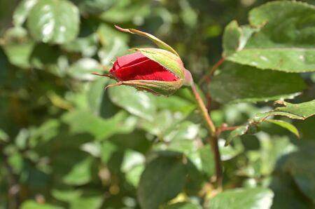 Red rose bud and beetles on bud
