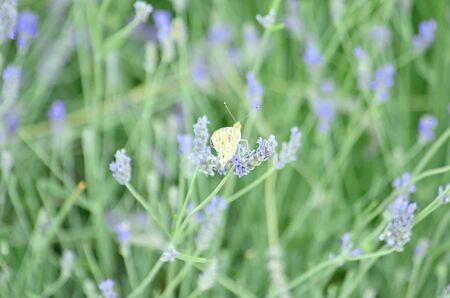 Lavender or Lavendula evergreen spicose field flowers with blue and purple from the family Lamiaceae with butterfly