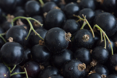 unwashed: Freshly picked unwashed black currants with stems.