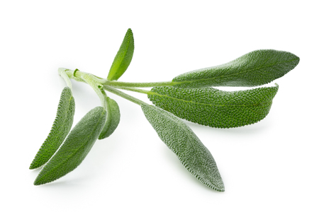 Fresh sage sprig isolated on white.