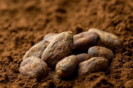 Roasted unpeeled cocoa beans sitting in cocoa powder. Blurred background.
