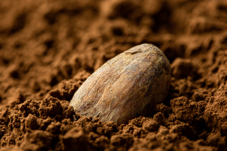 Single roasted unpeeled cocoa bean sitting in cocoa powder. Blurred background.