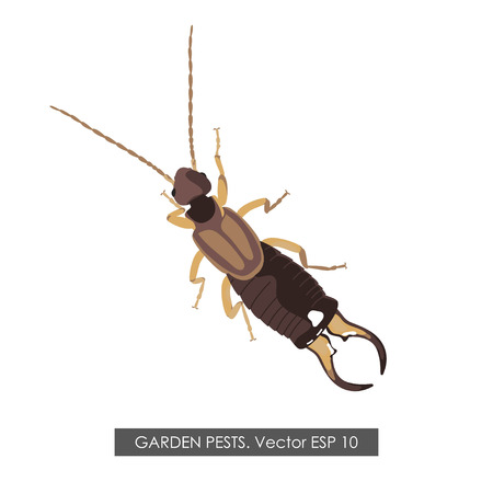 exterminate: Detailed drawing earwig on a white background. Vector illustration