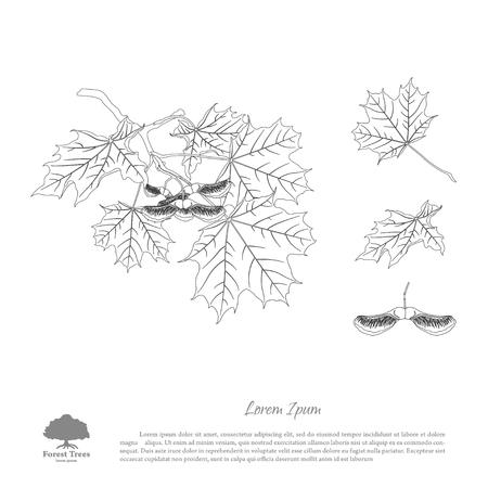 L'image de contour d'une branche d'érable. Branche, graines et feuilles d'érable. Illustration vectorielle Banque d'images - 65648827