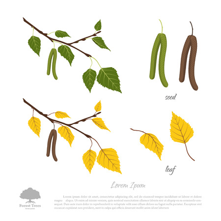 Birch branch on a white background . Autumn and summer birch . The seeds and leaves. Vector illustration