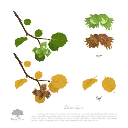 filbert: Filbert branch in summer and autumn. Nuts and hazelnut leaves. Vector illustration