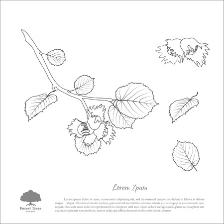 Contour drawing hazelnut branches . Nut and hazelnut leaf. Vector illustration
