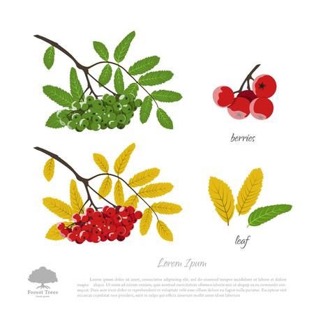 Zweig der Eberesche auf einem weißen Hintergrund. Herbst und Sommer Eberesche. Vektor-Illustration