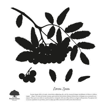 mountain ash: Silhouette of branch of rowan on a white background. Autumn and summer mountain ash. Vector illustration