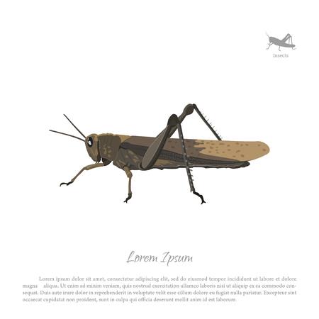 Locusta marrone su sfondo bianco. Immagine vista cavalletta laterale. Illustrazione vettoriale Archivio Fotografico - 69116334
