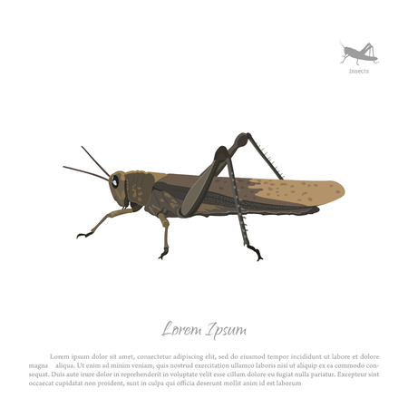 Brown locust on a white background. Image grasshopper side view. Vector illustration