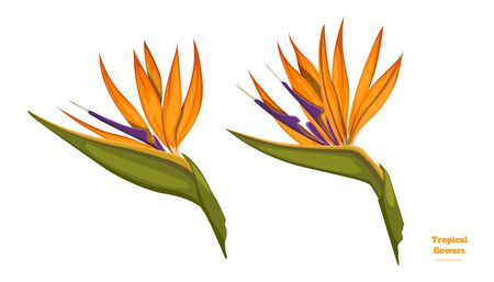 Isolated tropical flowers. Strelitzia image. Design elements. Exotic bud. Orange floral plant in cartoon style. Jungle flora on white background. Vector illustration