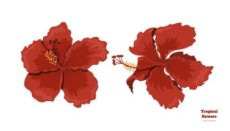 Isolated tropical flowers. Hibiscus image. Design elements. Exotic bud. Red floral plant in cartoon style. Jungle flora